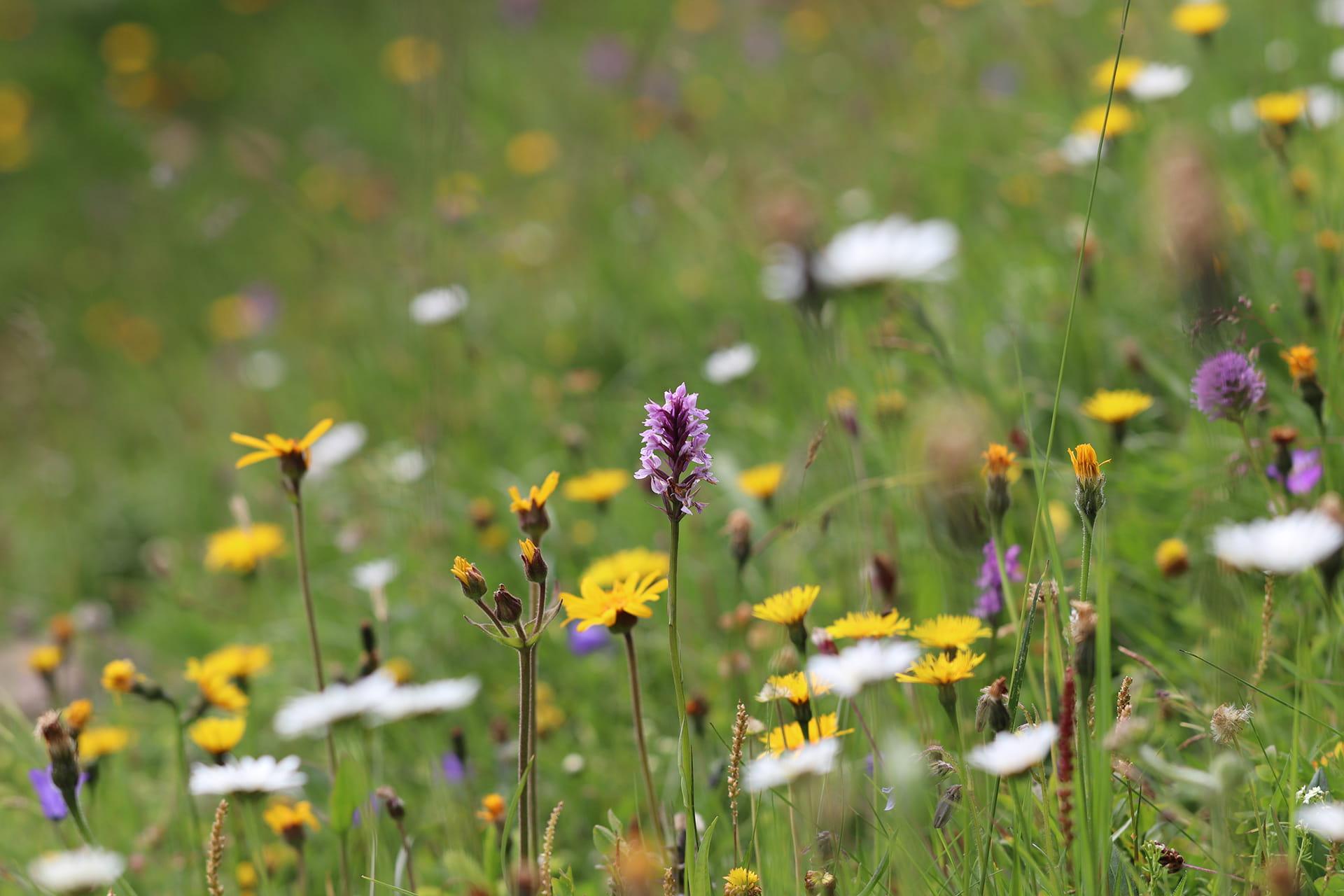 Alpenblumenwiese